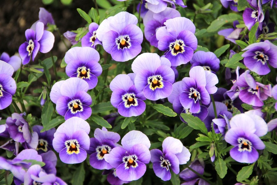 Free photo Plant Flowers Violet Purple Pansy   Max Pixel Flowers  Plant  Purple  Pansy  Violet