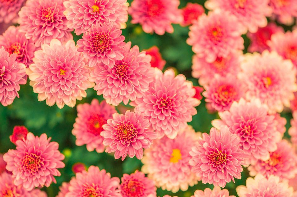 Free photo Plant Nature Pink Flowers Garden Summer   Max Pixel Flowers  Summer  Pink  Nature  Garden  Plant
