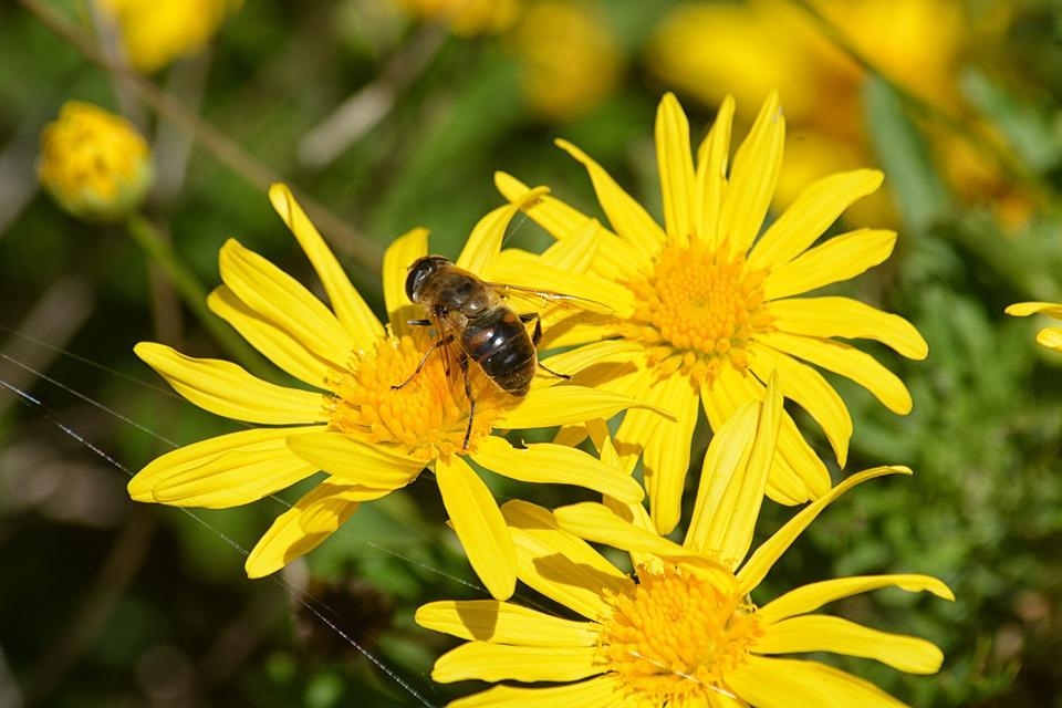 Free photo Pollen Garden Bee Insects Flowers Forage Plant   Max Pixel Flowers  Bee  Forage  Insects  Plant  Garden  Pollen