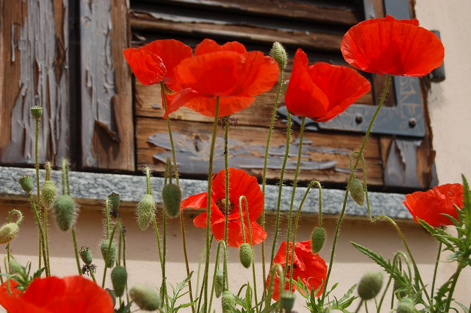 Free photo Poppies Poppy Red Flowers Nature   Max Pixel Flowers  Poppies  Nature  Poppy Red