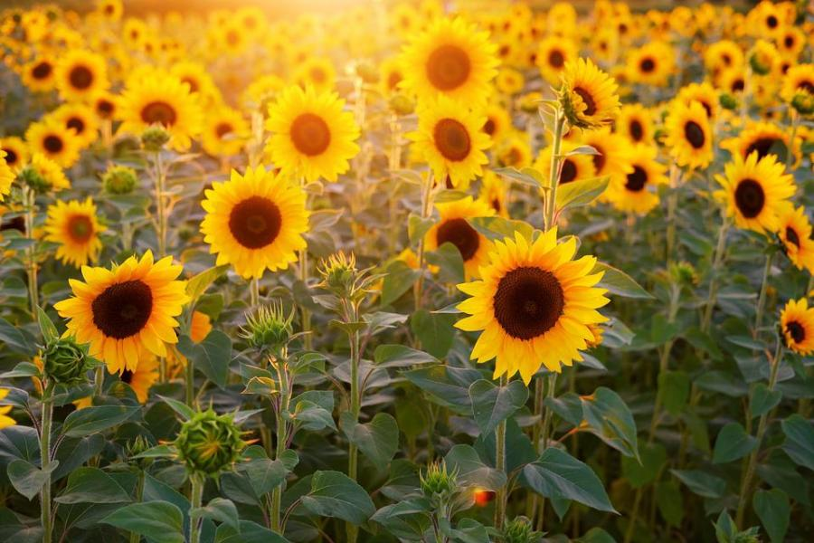 Free photo Sunflower Field Flowers Summer Bloom Sunflower   Max Pixel Sunflower  Sunflower Field  Flowers  Summer  Bloom
