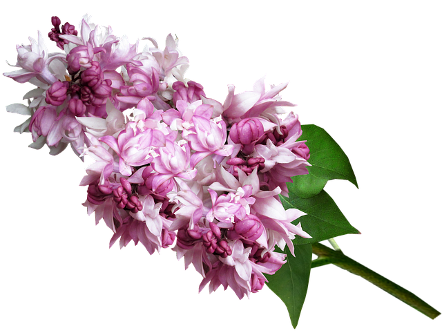 Free Photo Blossom Garden Lilac Spring Flower Pink Max Pixel