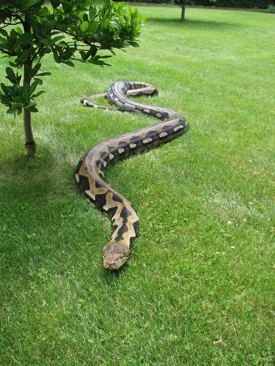 Full Grown Burmese Python