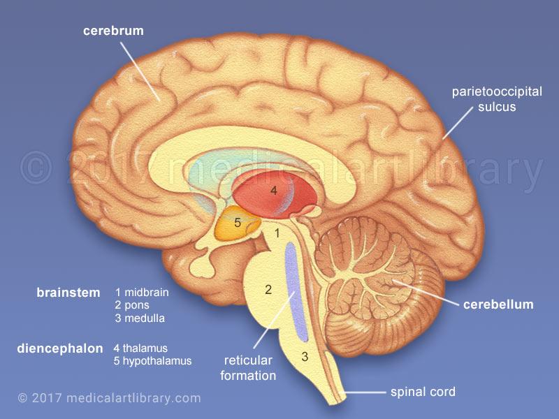 Interior Brain Diagram Labeled Labeled Brain Diagram Glands Wire