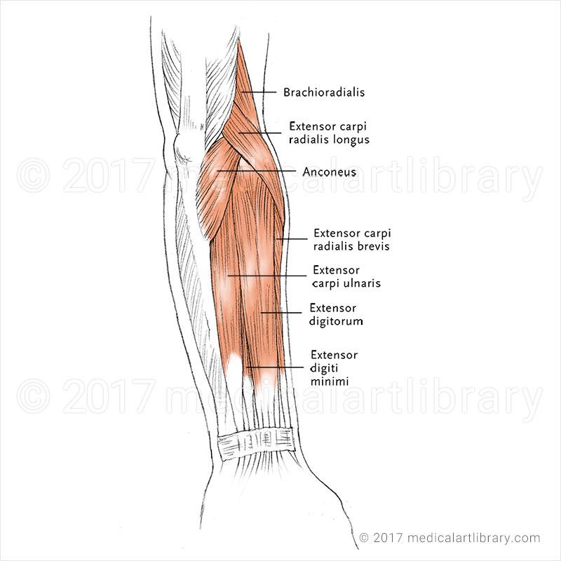 Hip Flexor Injury Anatomy