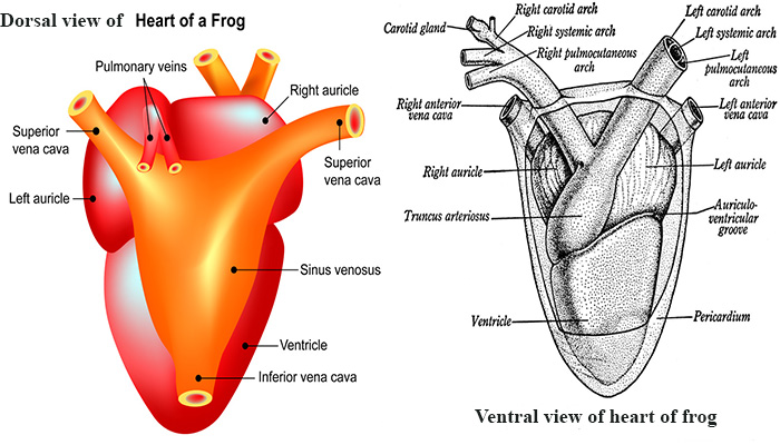Frog Heart Dissection Diagram - DIY Enthusiasts Wiring Diagrams •