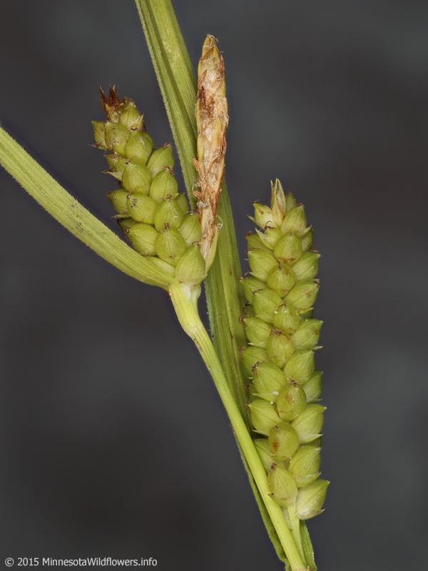 Carex Granularis Limestone Meadow Sedge Minnesota
