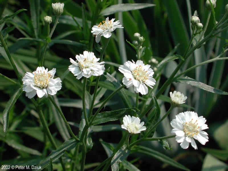 Achillea Ptarmica Sneezewort Minnesota Wildflowers