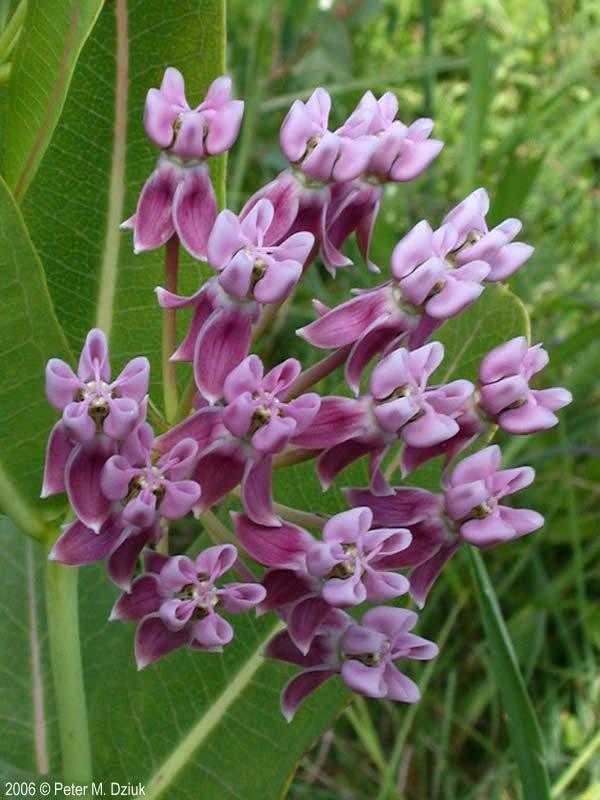 Asclepias Sullivantii Sullivant S Milkweed Minnesota