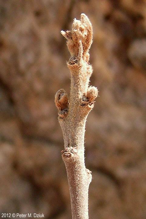 Frangula Alnus Glossy Buckthorn Minnesota Wildflowers