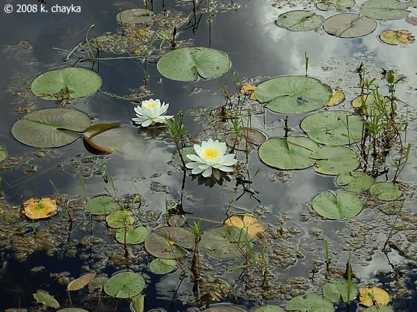 Where Buy Pond Plants