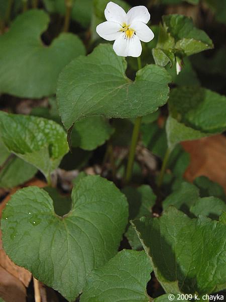 Large Purple Leaf Plant
