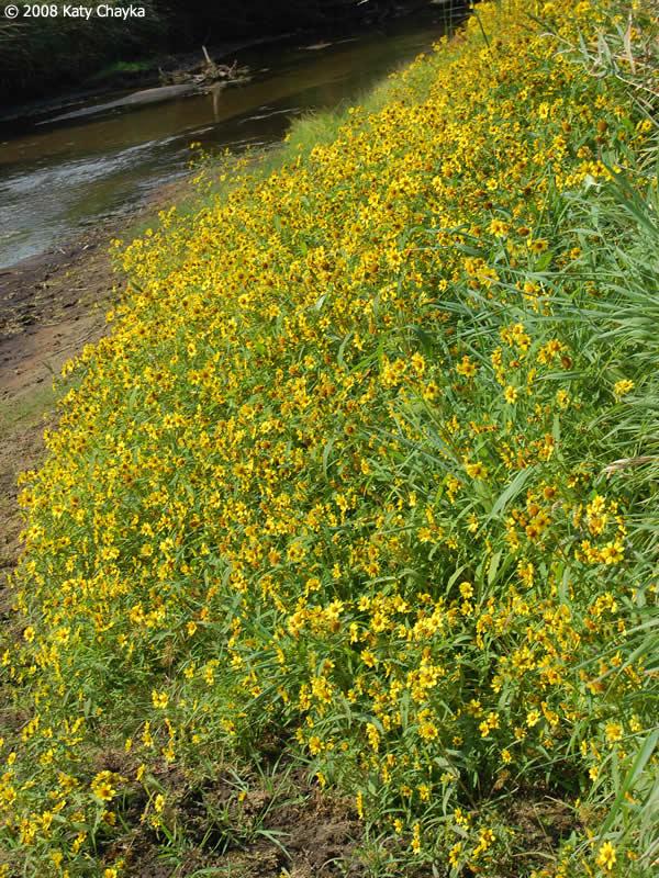 Bidens Cernua Nodding Bur Marigold Minnesota Wildflowers