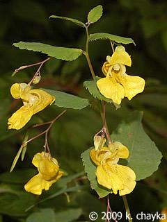 Impatiens Pallida Pale Touch Me Not Minnesota Wildflowers
