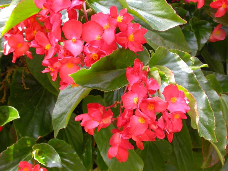 Ten Best Annuals for Shade Begonia