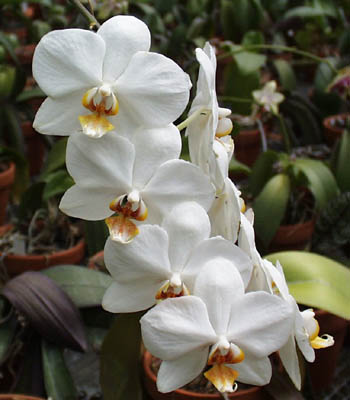 Mbg Orchid Collection Vandeae