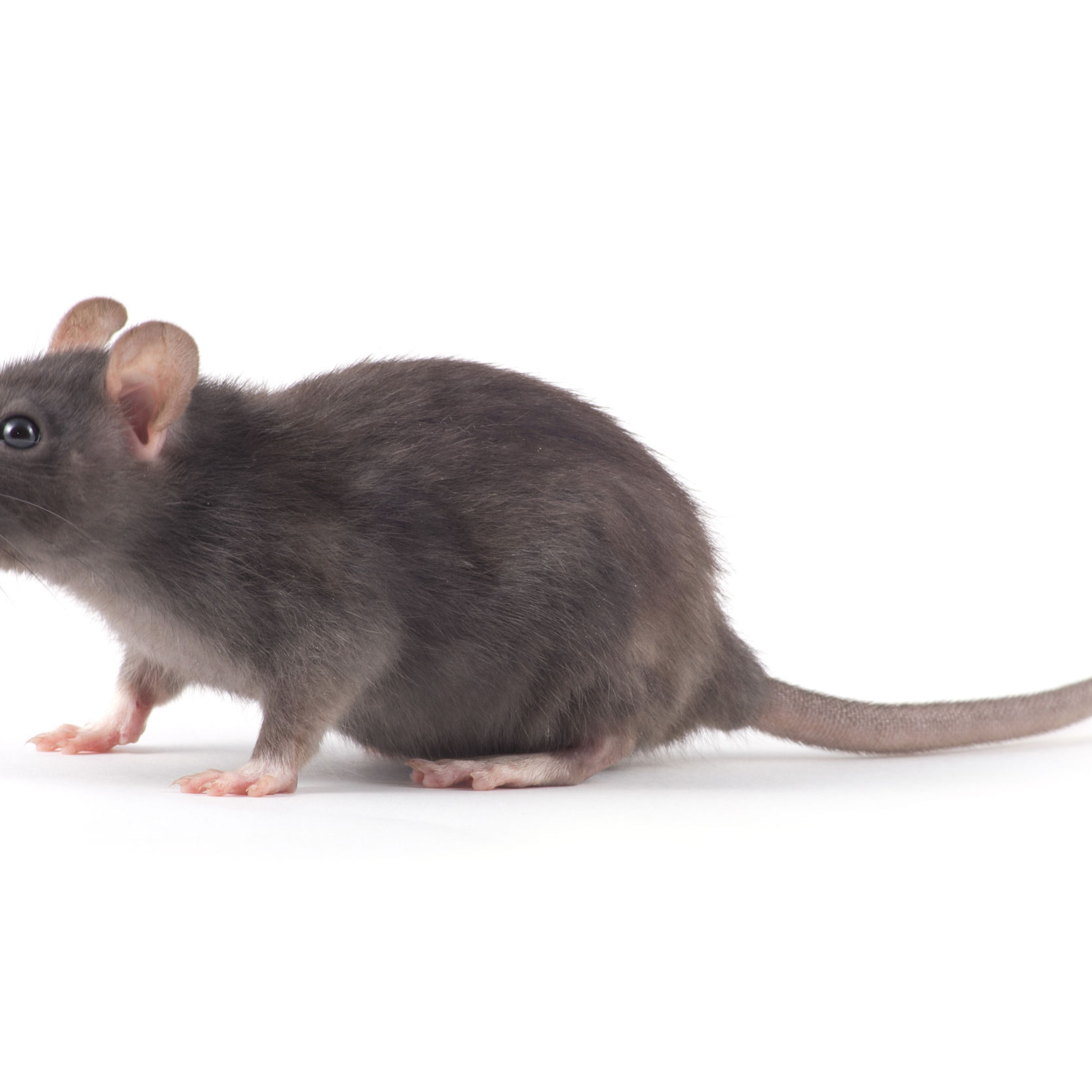 50703161 - rat close-up isolated on white background