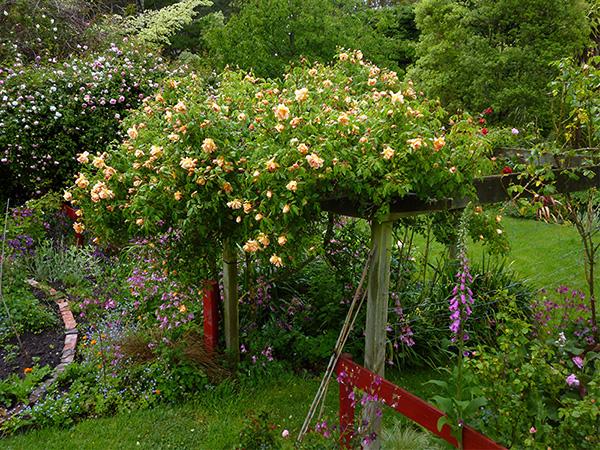 Garden Rose Pergola