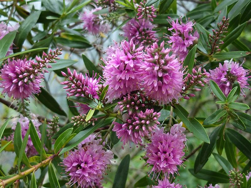 Flowering Hebes