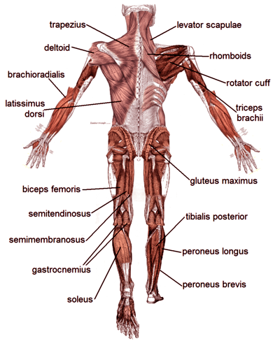 Muscle Diagrams Of Major Muscles Exercised In Weight