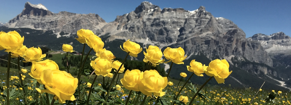 Mountain Flowers   Mountain Hiking Holidays Globeflower  Trollius  blooming in the meadows of Pralongia  Dolomites of  Italy