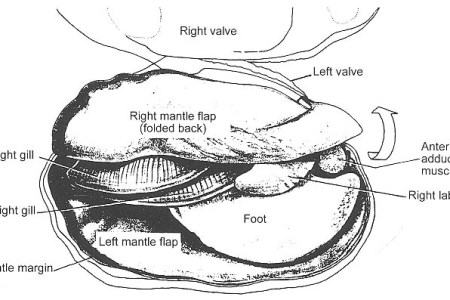Interior Internal Morphology Of Clam 4k Pictures 4k Pictures