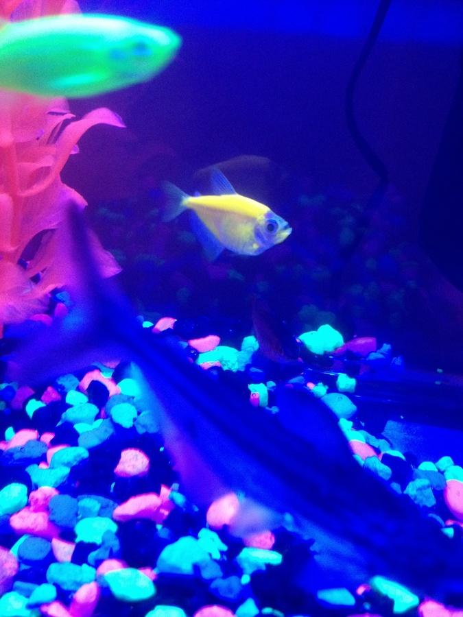 Is My Glo Fish Pregnant? | My Aquarium Club