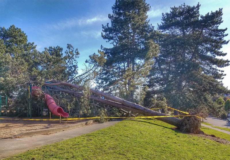 Tree Smashes Into Loyal Heights Playfield My Ballard