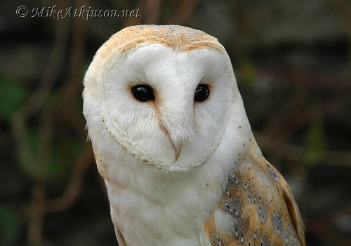 10 Interesting Barn Owl Facts | My Interesting Facts