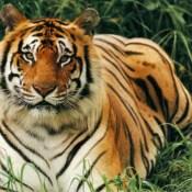 Lion Vs Tiger Aslan Vs Kaplan (13)