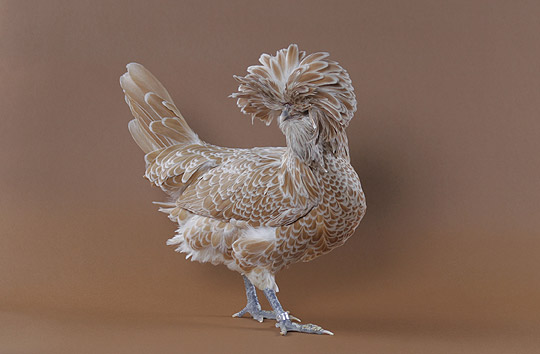 Roosters Breed Do How