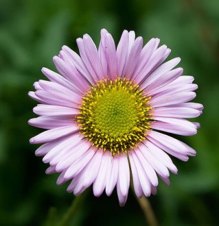 The Aster Aster  Aster Flower  Aster Flowers