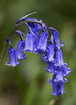 Names of All Flowers Bluebell