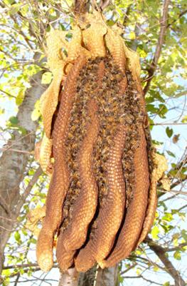 Wild Honey Wild Honey भिरमौरीको मह Largest