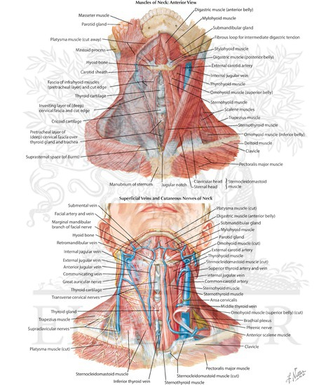 Neck Muscles And Nerves