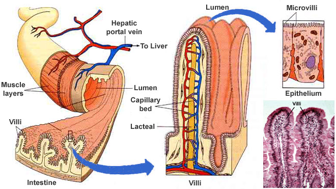 The Inside And Out Of Small Intestine Diagram