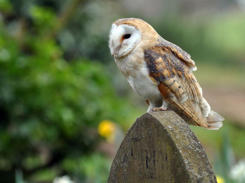 Barn Owl - Tyto alba - NatureWorks