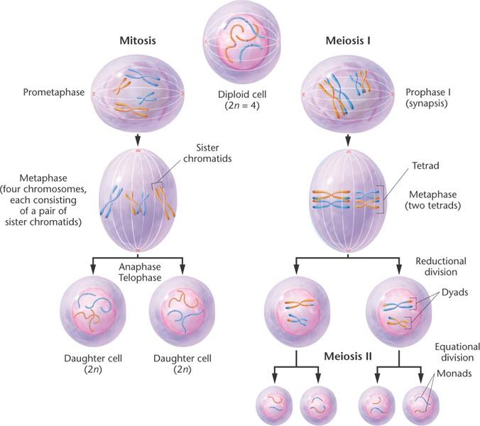 Mitosis And Meiosis Venn Diagram Comparison