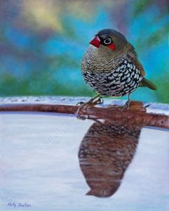 Red-eared Firetail Finch