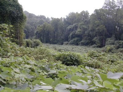 Kudzu - Chattahoochee River National Recreation Area (U.S ...