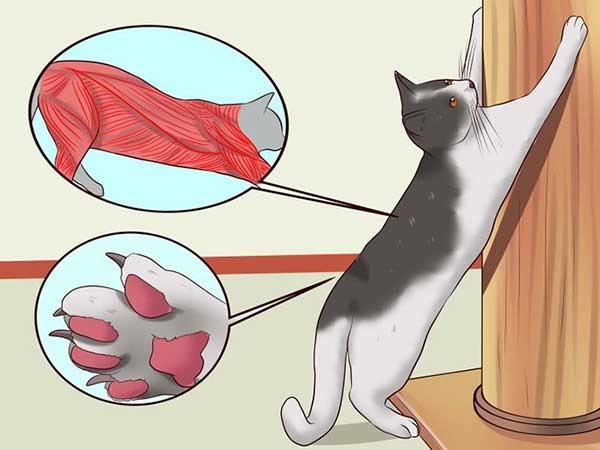 Schematisch afgebroken waarom katten klauwen zijn die spieren geactiveerd zijn