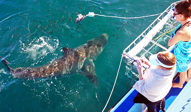 Great White Cages Sharks Shark