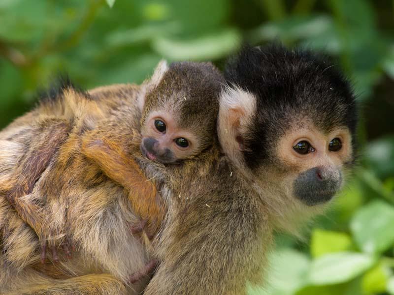 Image of: Amphibians Rainforest Animals Squirrelmonkey Squirrel Monkey Youtube Rainforests Animals For Primary Children