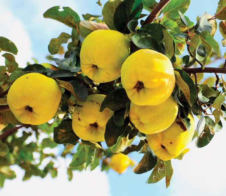 6 Unusual Fruits For Old House Gardens Restoration