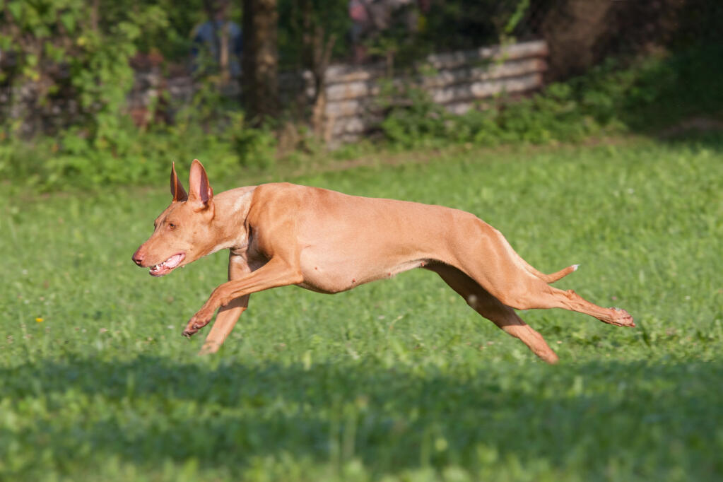 Back Ridgeback Dog