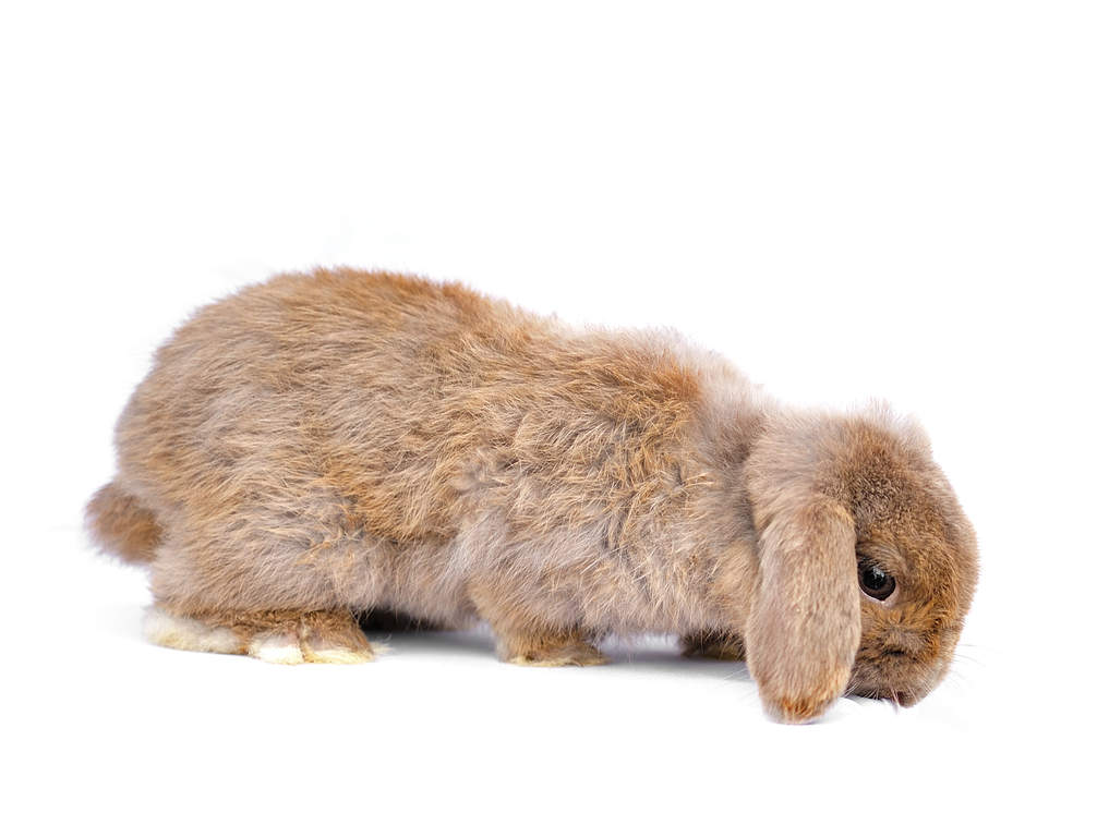 Polish Rabbit Are Meat Rabbits