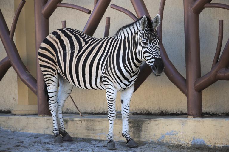 Video of Zebra Mistreatment Goes Viral