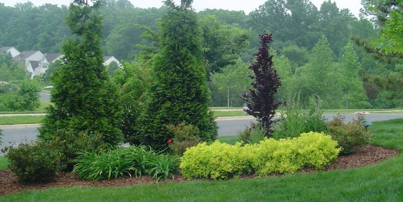 Plants Evergreen Tree Privacy Border