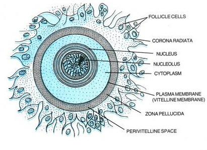 The structure and function of the ovum in the female ...