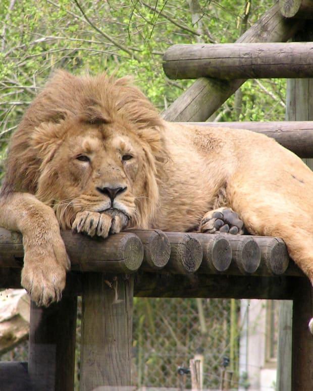 man eaten by lion - 620×775